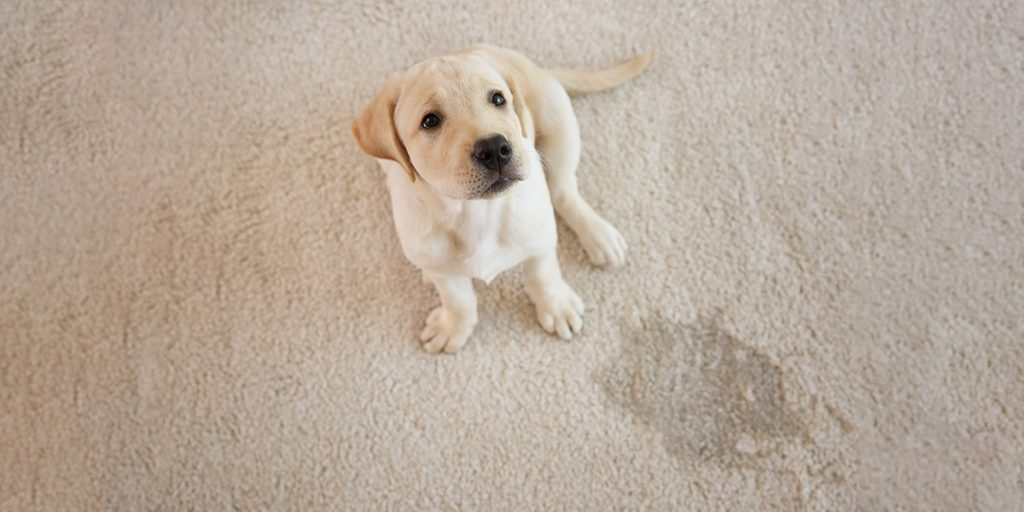 How To Remove Pet Accidents From Carpet